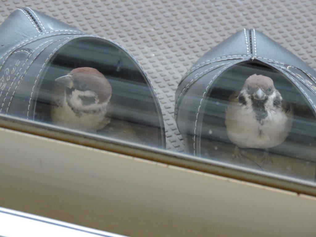 サンダルの中にいる二羽の仲良しすずめ