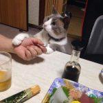 お刺身を食べようと必死に訴える猫