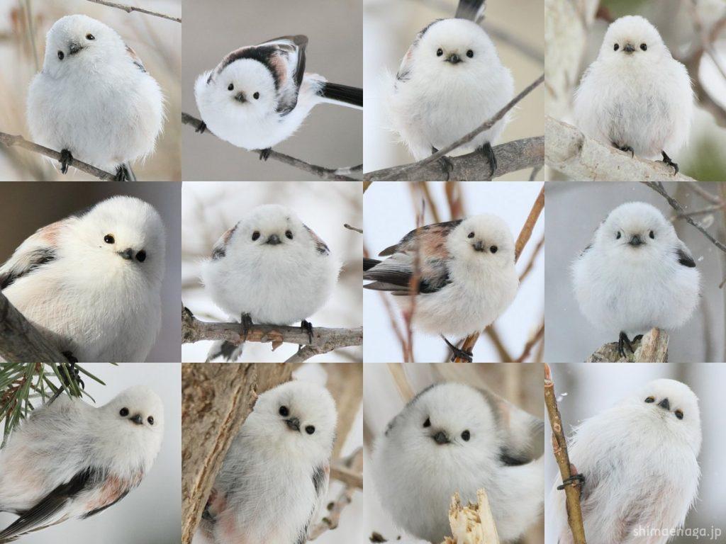 かわいい鳥の正面顔が12枚