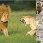 雄ライオンが雌に怒られる表情