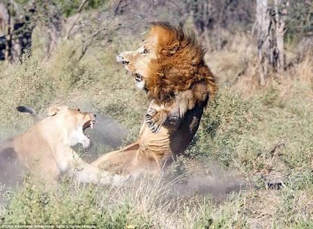 雄ライオンが雌に怒られる表情マジで面白いから見て。