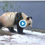 パンダ史上最も美しいひざカックン