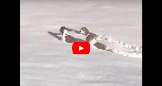新雪に飛び込む犬たち