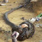 相討ちで死亡したキングコブラとニシキヘビ