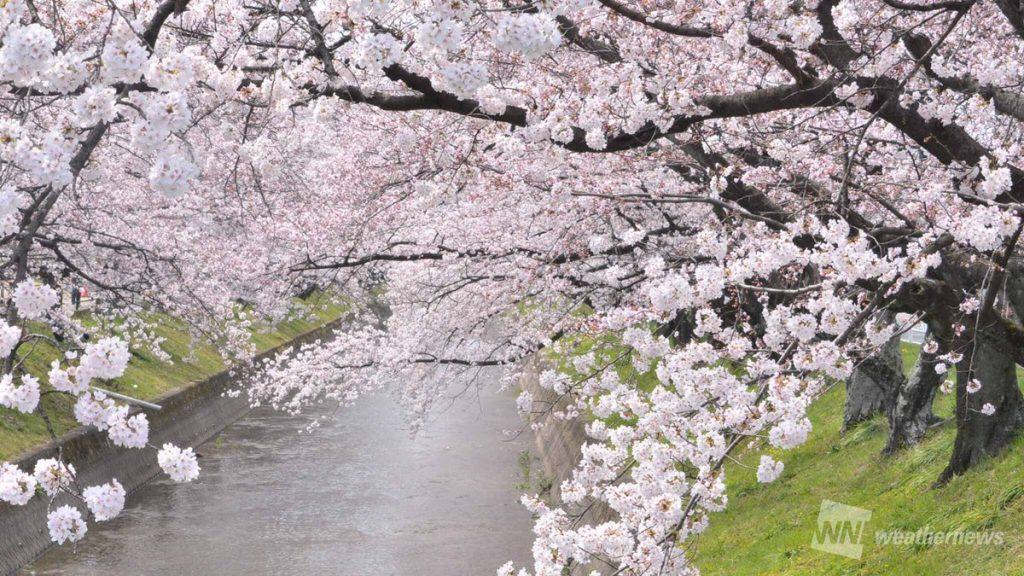 川沿いの桜は先人の知恵