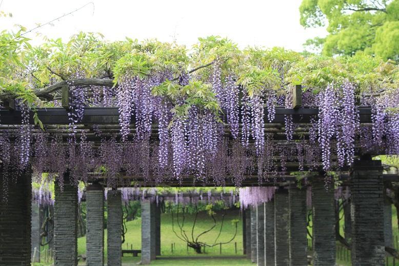 福岡・舞鶴公園で「福岡城 藤まつり」