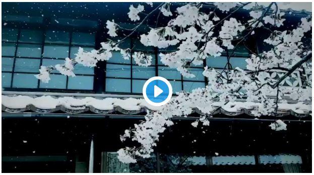 人生ではじめて桜と雪の組み合わせをみた。もう一生見れる気がしない。