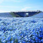 【海の中道海浜公園】150万本のネモフィラの花が見頃