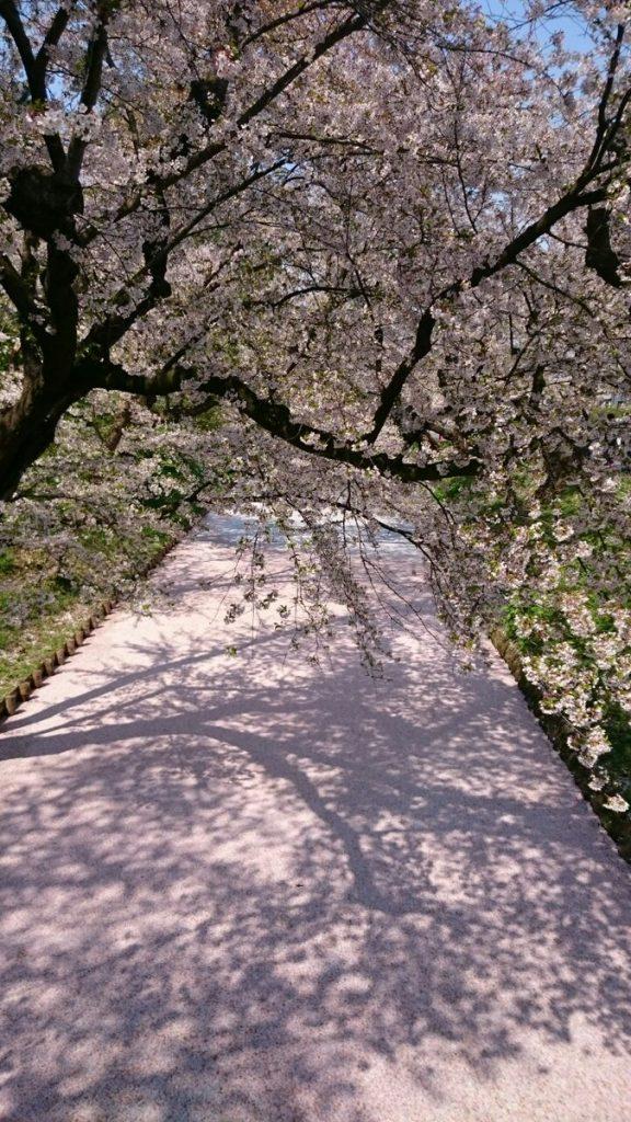 【弘前公園さくら情報】弘前公園の花筏