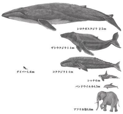 シロナガスクジラは、体長30m重さ200tの地球上最大の生き物