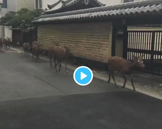 【びっくり動画】奈良の街中を我が物顔で疾走する鹿の集団