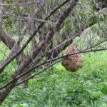 スズメバチの巣、カマキリの卵も。高いときは、風より雨が強い。