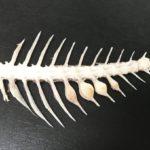 【鳴門骨】鳴門の鯛の骨によく見られ凄まじい激流の中で育った美味さの証