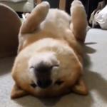 【癒され動画】仰向けで居眠りするワンちゃんが可愛すぎ