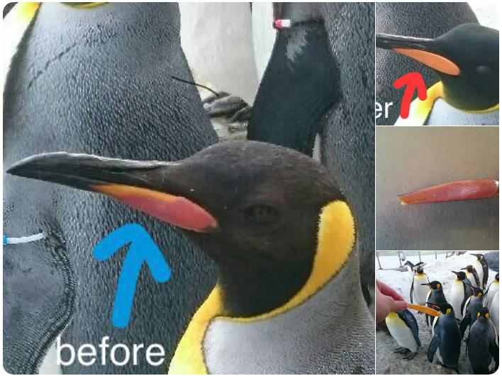 キングペンギンのくちばしのオレンジ色の部分は、1年に1回はがれます。
