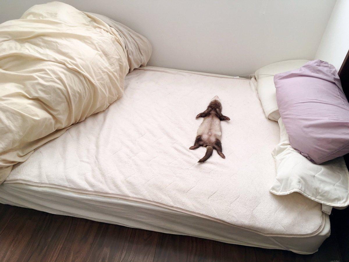 ベッドで大の字で寝ていたフェレット