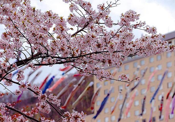 定山渓温泉にこいのぼり 家庭から提供の400匹、満開の桜と共演