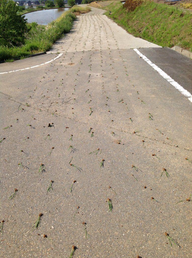機械止め忘れて道路に田植え。
