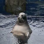 アザラシ見に行ったはずなのに、露天風呂のオッサンやないか!!