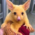 """「ピカチュウ」そっくりなオーストラリアに棲息する""""ポッサム""""という有袋類"""