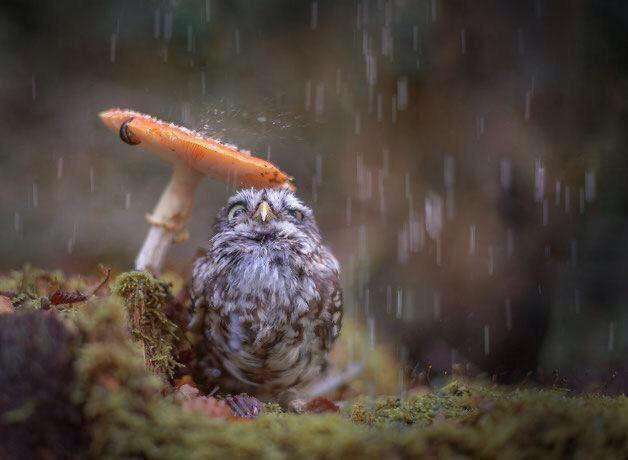 キノコで雨宿りするフクロウかわいい