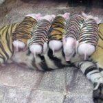 娘を失ってうつ病になった虎に、子豚を家族として与えたら元気を取り戻した