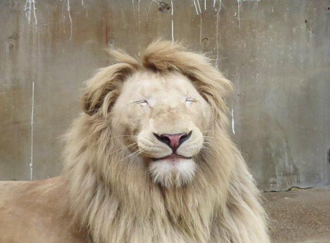 居眠りするホワイトライオンが可愛過ぎる