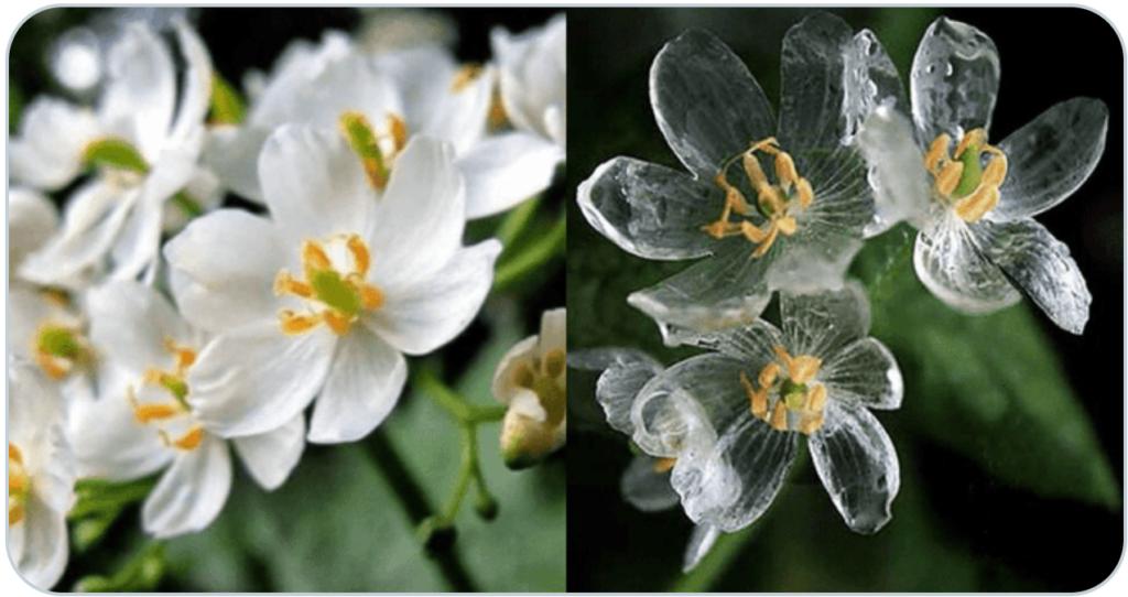 サンカヨウ(山荷葉)という花で、花言葉は「清楚」