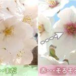 桜が散るサインの見分け方
