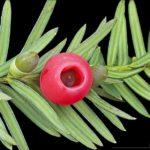 イチイの中にある種は4、5粒で死に至る程の毒を持つので注意