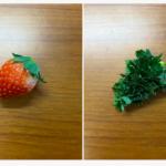 発芽したイチゴの種